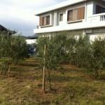 淡路島におけるオリーヴ栽培の現状1