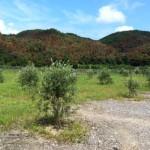 淡路島におけるオリーヴ栽培の現状2
