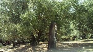 日本でのオリーヴの栽培
