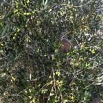 オリーヴの収穫と加工1