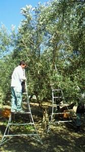 オリーヴの収穫と加工2