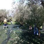 オリーヴの収穫と加工3