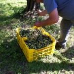 オリーヴの収穫と加工4