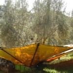 オリーヴの収穫と加工11