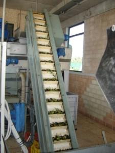 オリーヴの収穫と加工7