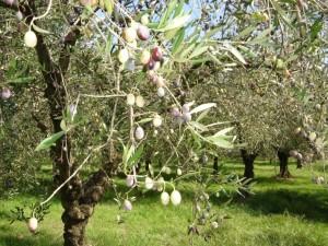 オリーヴの栽培