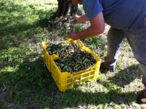 オリーヴの収穫と加4
